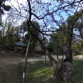 猪苗代の磐椅神社の大鹿桜、散ったのかと思ったらまだ咲いてない様子(^^;;いつ来たら咲いてるんだろう(^^;; #theta360