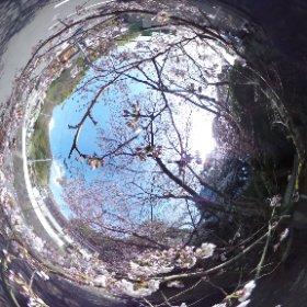 道後の宝厳寺の近くにある桜がいい感じで咲いてたのでTHETAでパチり。来週になったらもっと面白く撮れそうで楽しみ♪