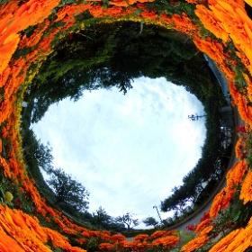 静岡県藤枝市の蓮華寺池公園で咲いていたマリーゴールド。 #theta360
