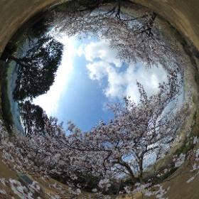 奈良県明日香村・甘樫丘 2019/04/01撮影  #sakura3d #theta360