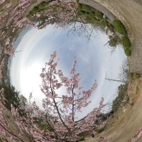 #広島 #尾道 #瀬戸内 #桜 #theta360 #sakura3d
