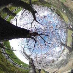 いい感じに隠れシータ桜 #theta360