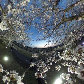 #sakura3d さくら市ゆうゆうパーク 夜桜。 #RICOHthetaSC #リコーシータ #theta360