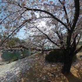 #Korea #sakura3d #theta360