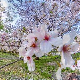 緊急事態宣言明けてお気に入りの公園がやっと使えるようになりました♪ #sakura3d #theta360