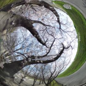 桜のましーた #theta360