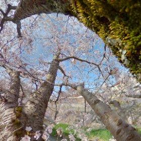 今だけ桜 #sakura3d #theta360