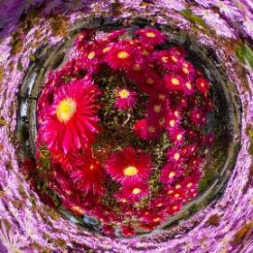 この360度写真も、静岡県御前崎市の海鮮なぶら市場の北側にある御前崎エコパーク内で咲いているマツバギクであります。THETAプラグインのタイムシフトシューテングを使用して、それぞれのマツバギクの180度写真2枚を上下に配置して、一枚の360度写真にしました。 #theta360