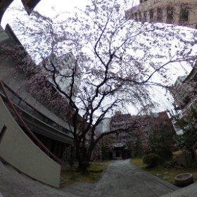 普門寺の枝垂れ桜360° #sakura3d #theta360