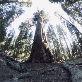 世界一大きい(体積)木であり、世界一大きい生命体でもある General Sherman Tree. 比較物が無いと伝わりづらいですね #theta360
