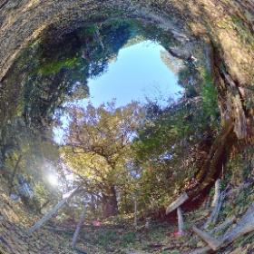流谷八幡神社/樹齢400年の大イチョウ 2of2 #thetav #theta360