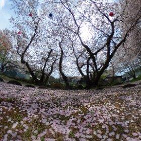 桜色じゅうたん 桜吹雪バージョン #sakura3d #theta360