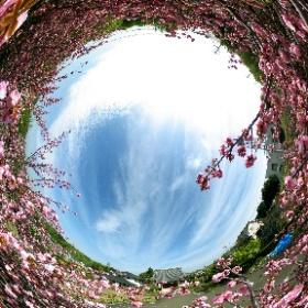 八重桜 #theta360
