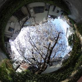 桜吹雪 #sakura3d