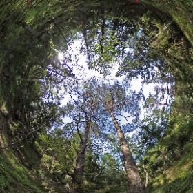 Paraplyträd nr p26 i Skarnhålans gammelskog. Genom att sponsra Twin Pines så skyddas tallarna och deras närmaste omgivning för evigt. https://naturarvet.se #naturarvet #gammelskog #naturvård #skyddadnatur #natur #paraplyträd #ek #fadder