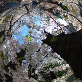 Inside a Cherry Tree #Tokyo #Today #Sakura #Hanami #Cherry #Cherryblossom #Japan #Japon #日本 #일본 #Giappone #Япония #theta360