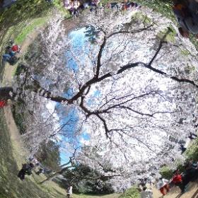 2017年4月2日 京都御苑 #sakura3d