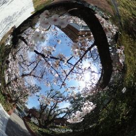 東大でお花見 #theta360