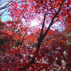 生田緑地の紅葉、全体的にはまだまだかな。でもここは綺麗。 #theta360