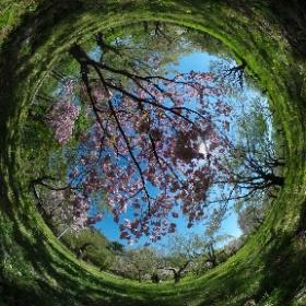 弘前城植物園 #sakura3d