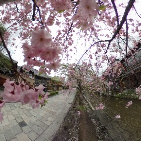 Early morning at Gion,Kyoto Finally Sakura is scattered by spring wind. #sakura3d #kyoto #360degrees #theta360