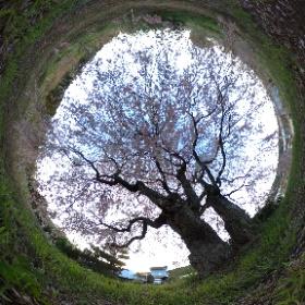 平成最後の日野上のしだれ桜 #sakura3d