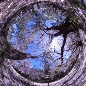 弘前公園の桜 360°画像。花びらいっぱい  #弘前公園 #桜 #theta360