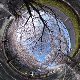 桜並木を散歩しながら #sakura3d #theta360