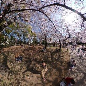 3/26 上野公園の桜 #sakura3d #theta360