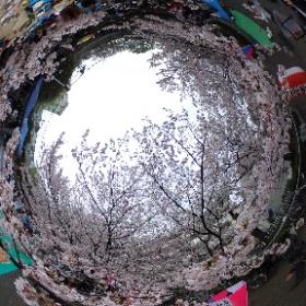 たくみや花見 #sakura3d