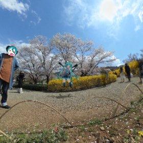 福島市の花見山にてはしゃぐミクさん。#福島市 #花見山 #miku360  #theta360
