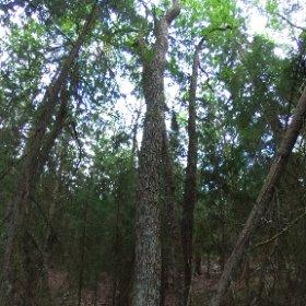 Paraplyträd nr p17 i Skarnhålans gammelskog. Genom att sponsra trädet skyddar du det och dess närmaste omgivning för evigt. https://naturarvet.se/paraplytrad-och-skogsrutor-i-skarnhalan/ #theta360