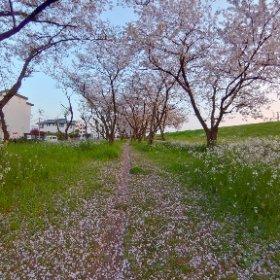 大分川の桜並木🌸 #sakura3d #theta360