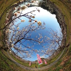 佐布里緑と花のふれあい公園 梅まつり1 #知多市