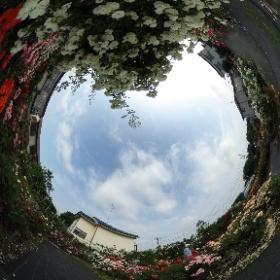 清瀬のバラ園。 #バラの#香りが#届くといいな #theta360