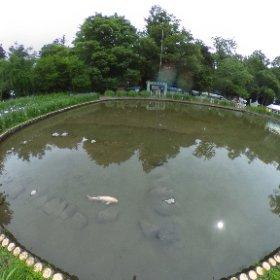 伊佐須美神社のあやめ祭り行ったけど、あまり咲いてなくて…池に亀と鯉がいたのを記念に1枚(笑) #theta360