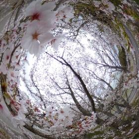 桜並木 #theta360