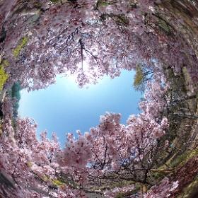タカトオコヒガンザクラ #sakura3d #theta360