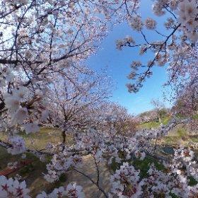 今朝の石手川公園の桜。天気がいいと通勤のときにも寄り道して撮影しちゃうww(やべー、遅刻遅刻!) #theta360