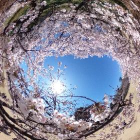 Cherry Blossom in Shinjuku Gyoen Park (Tokyo, Japan)  新宿御苑(東京都新宿区)では桜が満開です。  <Musashino Media Laboratory> http://www13.plala.or.jp/mml/index_E.html <武蔵野メディア研究所> http://www13.plala.or.jp/mml/