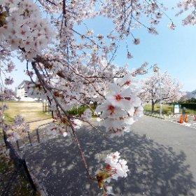 東大阪市花園ラグビー場の桜 2018.03.29撮影 #theta360