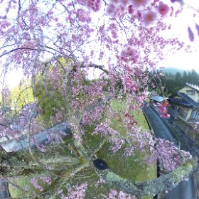 2019/04/18  常照皇寺 山門前垂れ #sakura3d  #theta360