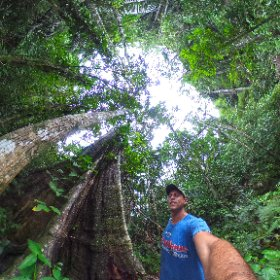 Figueira Gigante, Ilha Grande-RJ