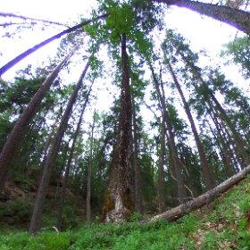 Paraplyträd nr p11 i Skarnhålans gammelskog. Genom att sponsra trädet skyddar du det och dess närmaste omgivning för evigt. https://naturarvet.se/paraplytrad-och-skogsrutor-i-skarnhalan/ #theta360