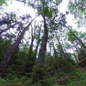 Paraplyträd nr p13 i Skarnhålans gammelskog. Genom att sponsra trädet skyddar du det och dess närmaste omgivning för evigt. https://naturarvet.se/paraplytrad-och-skogsrutor-i-skarnhalan/ #theta360