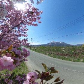 猪苗代運動公園の近くの路上から撮りました、うまく磐梯山と桜が入った気がしますが… #theta360