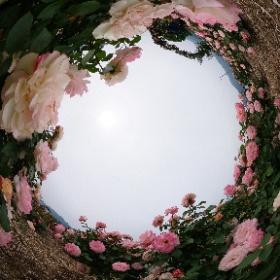 さかき千曲川バラ公園 『バラ祭り2019』 #theta360