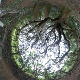 阿蘇 高森殿の杉 #theta360