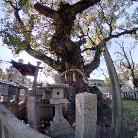杭全神社の巨楠・幹周10m 「くいまったく」神社ではない。念のため。 #theta360