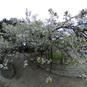 旧・会津高田町の伊佐須美神社にある薄墨桜です、満開かな?きれいです、他にも伊佐須美神社には見所が多いような気がします、あやめ苑の桜も散りかけてたけどきれいでした #theta360